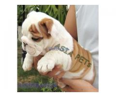 Bulldog Puppies For Sale In India | Bulldog Puppy For Sale In India
