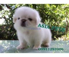 Pekingese Puppies For Sale In India | Pekingese Puppy For Sale In India