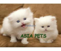 Persian kitten For Sale In India | Persian Kitten For Sale In India