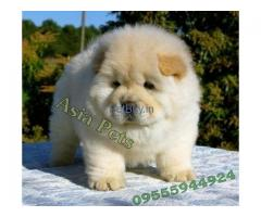 Chow Chow For Sale In India | Chow Chow For Sale In India