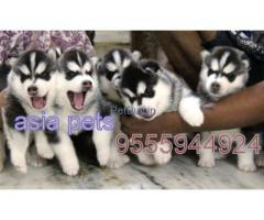 Siberian Husky For Sale In India | Siberian Husky For Sale In India