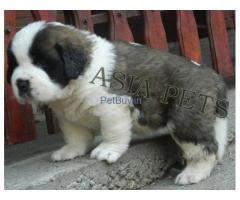 Saint Bernard Puppies For Sale In India | Saint Bernard Puppies For Sale In India