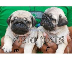 Pug Puppies For Sale In India | Pug Puppies For Sale In India