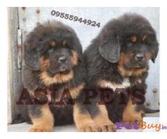 tibeten MASTIFF Puppy for sale india
