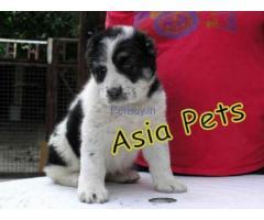 Alabai price pup delhi