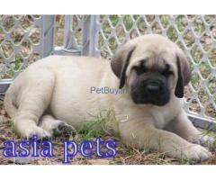 American mastiff price pup delhi