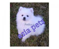 American eskimo price pup delhi