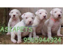 American bully price pup delhi