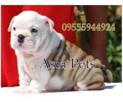 Bulldog price pup delhi