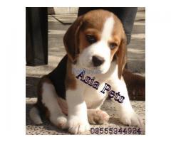 Beagle pup Mumbai