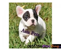 French Bulldog puppy for sale in Bangalore at best price