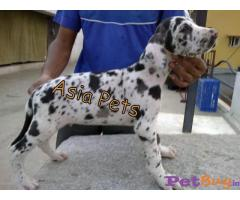 Harlequin Great dane puppy for sale in Bangalore at best price