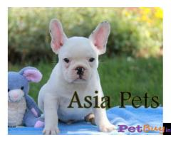 French Bulldog puppy for sale in Dehradun at best price