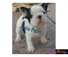 French Bulldog puppy for sale in Guwahati at best price