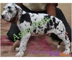 Harlequin Great dane puppy for sale in Gurgaon at best price
