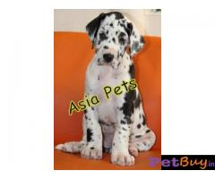Harlequin Great dane puppy for sale in Ranchi at best price