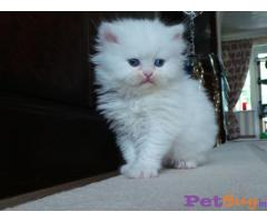 Persian kitten  for sale in Gurgaon at best price