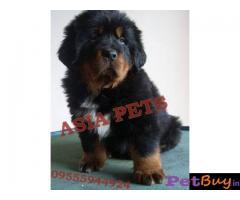Tibetan mastiff puppy  for sale in Bangalore Best Price