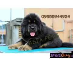 Tibetan mastiff puppy  for sale in Bhubaneswar Best Price