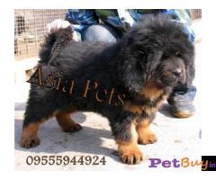 Tibetan mastiff puppy  for sale in Chandigarh Best Price