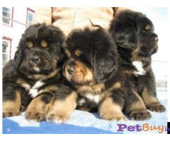 Tibetan mastiff puppy  for sale in Coimbatore Best Price