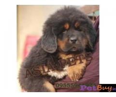 Tibetan mastiff puppy  for sale in Ranchi Best Price