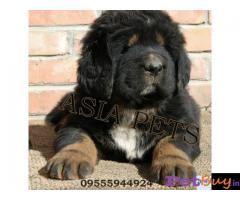 Tibetan mastiff puppy  for sale in pune Best Price