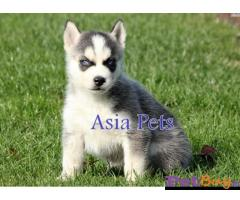 Siberian husky puppy  for sale in Ahmedabad Best Price