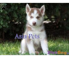 Siberian husky puppy  for sale in Bangalore Best Price