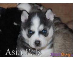 Siberian husky puppy  for sale in Chennai Best Price