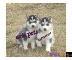 Siberian husky puppy  for sale in Gurgaon Best Price