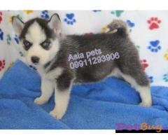 Siberian husky puppy  for sale in Ghaziabad Best Price