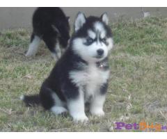 Siberian husky puppy  for sale in Guwahati Best Price