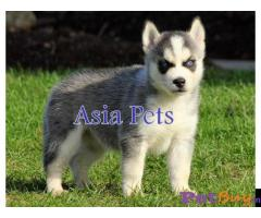 Siberian husky puppy  for sale in Kanpur Best Price