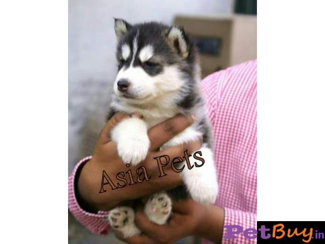 Siberian Husky Puppy For Sale In Kolkata Best Price