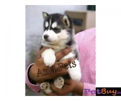 Siberian husky puppy  for sale in Kolkata Best Price