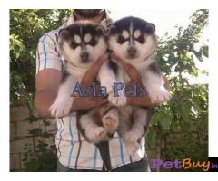 Siberian husky puppy  for sale in  vadodara Best Price