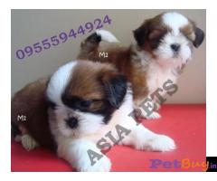 Shih tzu puppy  for sale in Ahmedabad Best Price