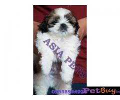 Shih tzu puppy  for sale in Bangalore Best Price