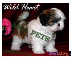 Shih tzu puppy  for sale in indore Best Price