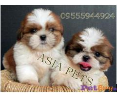 Shih tzu puppy  for sale in Kanpur Best Price