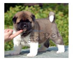 "♚♚ ASIA PETS ♚♚rkci reg -/-""Akita price pup delhi heavy boned"""