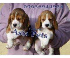 AsiaPets - Tri colour beagle puppy delhi