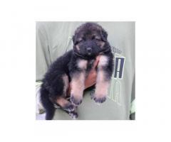 Double bone long coat German shepherd puppies for sale