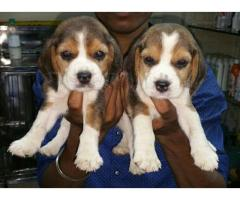 Beagle pups for sale in Low Price in Ahemdabad Call 8708195233