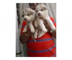 Siberian husky pups for sale in Low Price in Ahemdabad Call 8708195233
