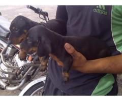 Dachshund pups for sale in Low Price in Ahemdabad Call 8708195233