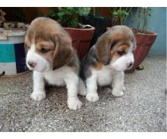 Beagle pups for sale in Low Price in Vadodra Gujarat Call 8708195233