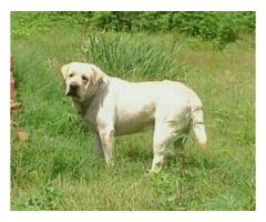 Labrador pups for sale in Low Price in Vadodra Gujarat Call 8708195233