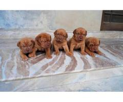 French Mastiff pups for sale in Low Price in Vadodra Gujarat Call 8708195233